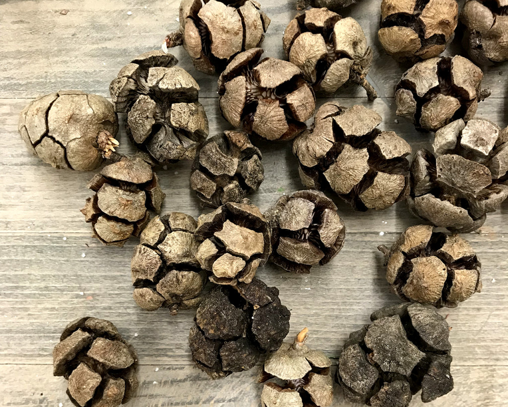 Cypress pine cones from Abruzzo, Italy